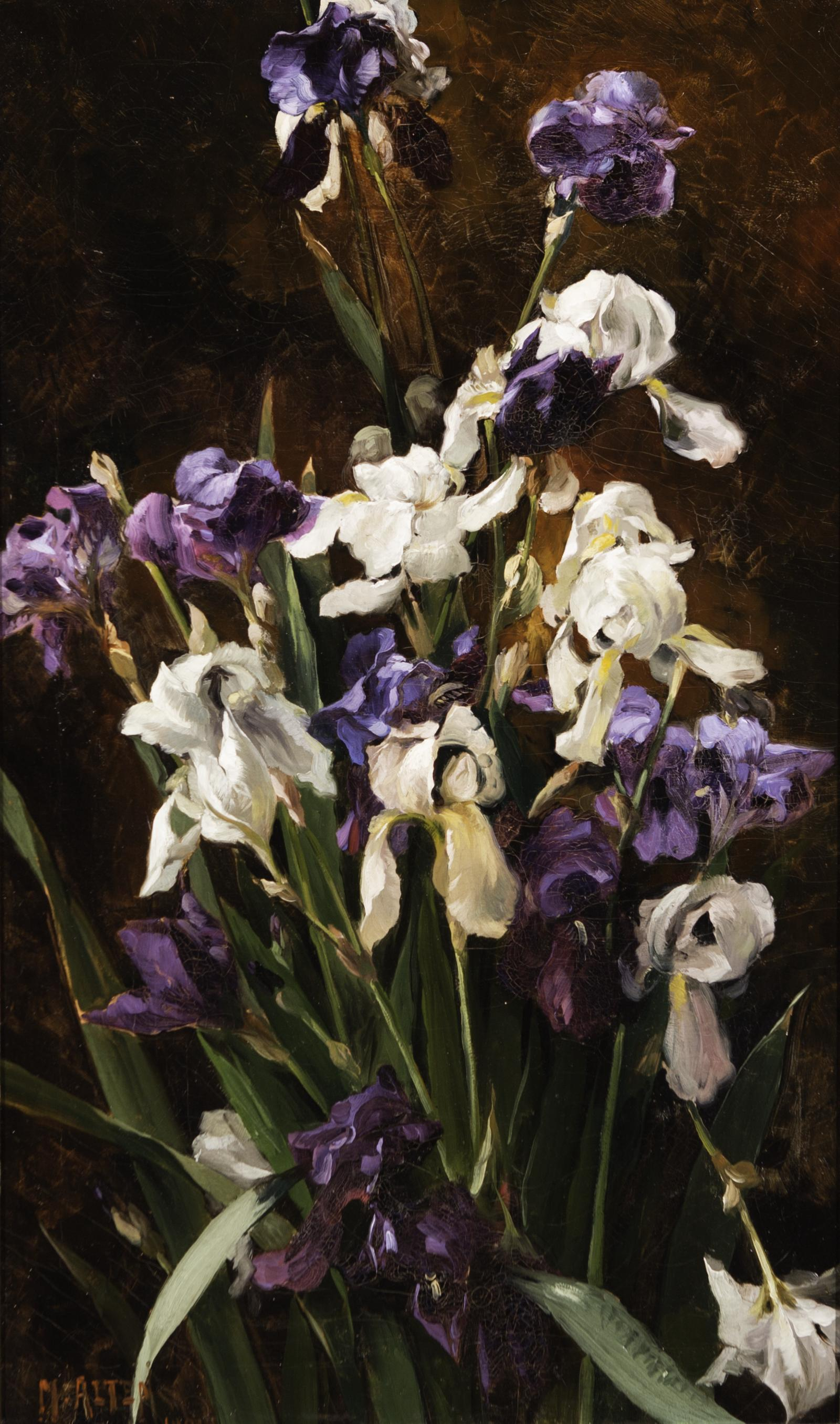Purple and white irises against a dark black and brown background.